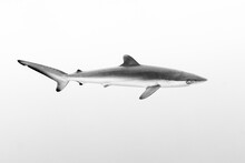 Side View Of Silky Shark