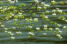 Mountain Dogwood Flowering Alo...