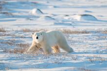 Portrait Of Polar Bear Walking...
