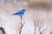 Close Up Of Bluebird Perching ...