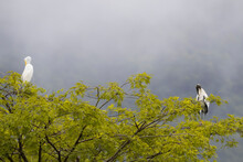 Great Egret And Wood Stork Preening Feathers While Perching On Tree