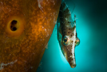 Portrait Of Slender Filefish S...