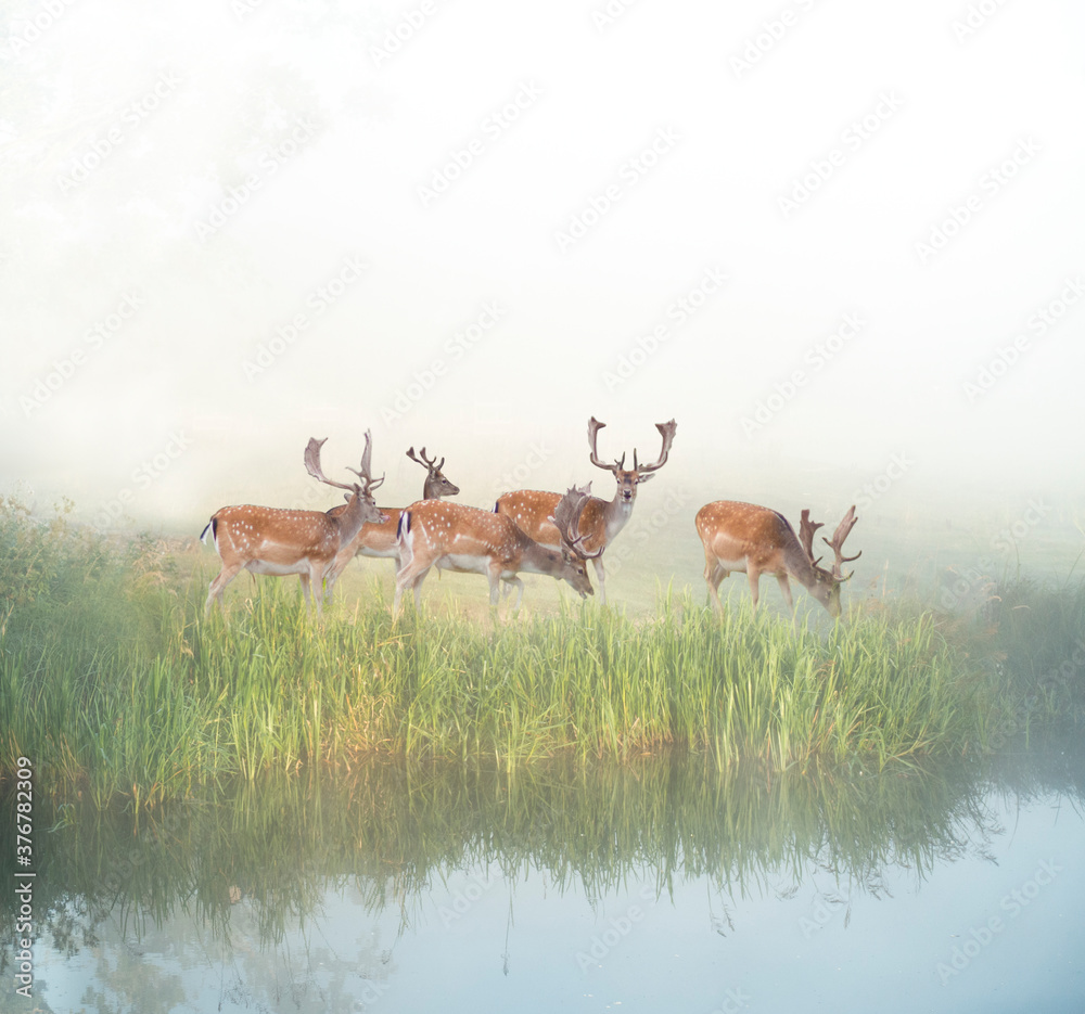 Fototapeta fallow deer grazing by river in foggy sunny morning