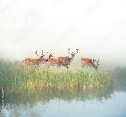Obraz na plátně fallow deer grazing by river in foggy sunny morning