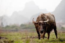 Portrait Of Water Buffalo Standing In Field