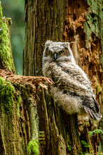 Portrait Of Great Horned Owl Fledgling