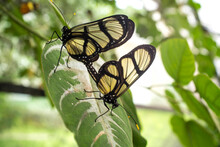 Close Up Of Butterflies Mating On Leaf