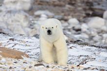 Polar Bear Standing On Snowy Landscape