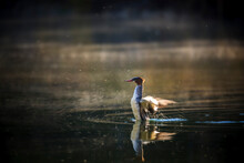 Common Merganser Flapping Wing...