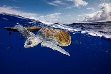 Sea Turtle Swimming In Sea