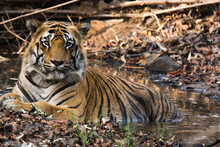 Portrait Of Tiger In Waterhole