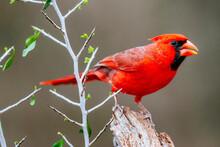 Close Up Of Northern Cardinal ...