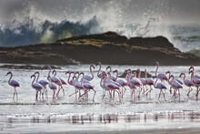 Flock Of Greater Flamingos On Beach