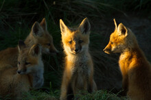 Red Fox Kits Sitting On Grass