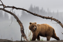 Grizzly Bear Walking Outdoors