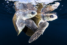 Olive Ridley Sea Turtles Mating In Sea
