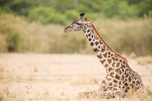 Giraffe Resting On Grassy Landscape