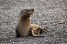Close Up Of Galapagos Sea Lion...