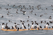 Common Murres Perching On Driftwood In Kenai Fjords National Park