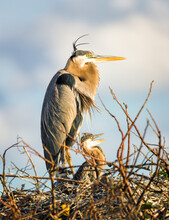 Close Up Of Great Blue Heron And Chick In Nest