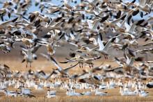 Flock Of Snow Goose On Grassy ...