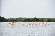 Flock Of Flamingos Walking In Water