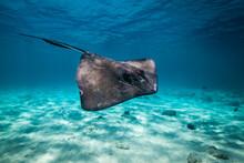 Southern Stingray Swimming Underwater