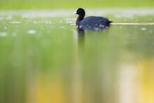 Close Up Of Eurasian Coot Swim...