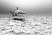 Bull Shark Swimming In Sea