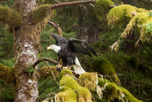 Bald Eagle Perching On Tree