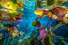 Water Lilies On Surface Of Cen...