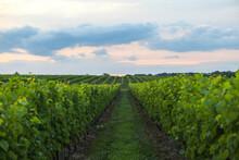 Wolffer Estate Vineyard At Sunset In Hamptons, Long Island, New York