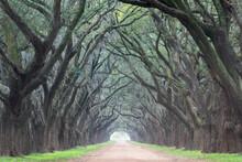 View Of Oak Lined Road In Loui...