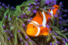 Close Up Of Ocellaris Clownfish And Anemone In Ocean