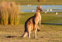 Forester Kangaroo Standing On Landscape