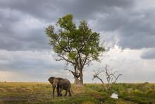 African Elephant Walking On Grassy Landscape
