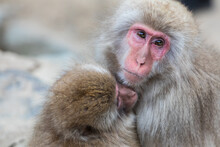Portrait Of Japanese Macaque E...