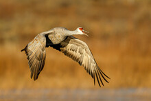 Close Up Of Sandhill Crane Flying Mid Air
