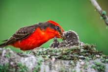 Vermillion Flycatcher Feeding ...