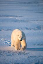 Portrait Of Polar Bear Walking On Snowy Landscape