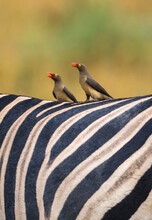 Close Up Of Two Red Billed Oxpeckers Perching On Back Of Zebra In Okavango Delta, Botswana