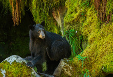 Black Bear Scratching In Anan Creek In Anan Wildlife Sanctuary