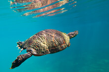 Red Bellied Cooter In Hunter Springs, Crystal River, Florida