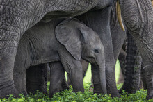 View Of Calf Hiding Under Elephant