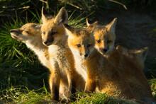 Red Fox Kits Sitting On Grass