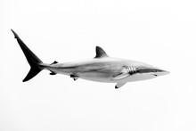 View Of Silky Shark Swimming U...