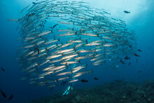 Scuba Diver Looking At Shoal Of Blackfin Barracuda While Swimming In Sea