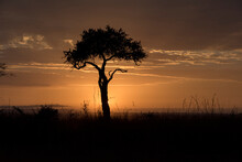 Silhouette Of Acacia Tree Against Sky During Sunrise