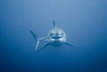 Portrait Of Great White Shark Swimming In Sea