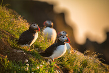 Atlantic Puffins Foraging For ...